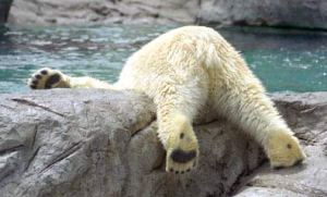 Bear with head stuck in water